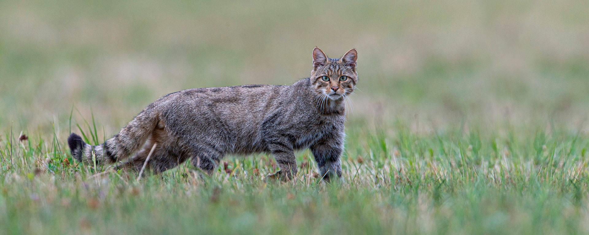 La Sindrome di Horner nel gatto