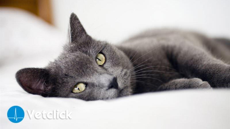 Linfoma nel gatto: tutto quello che dovete sapere sul linfoma felino