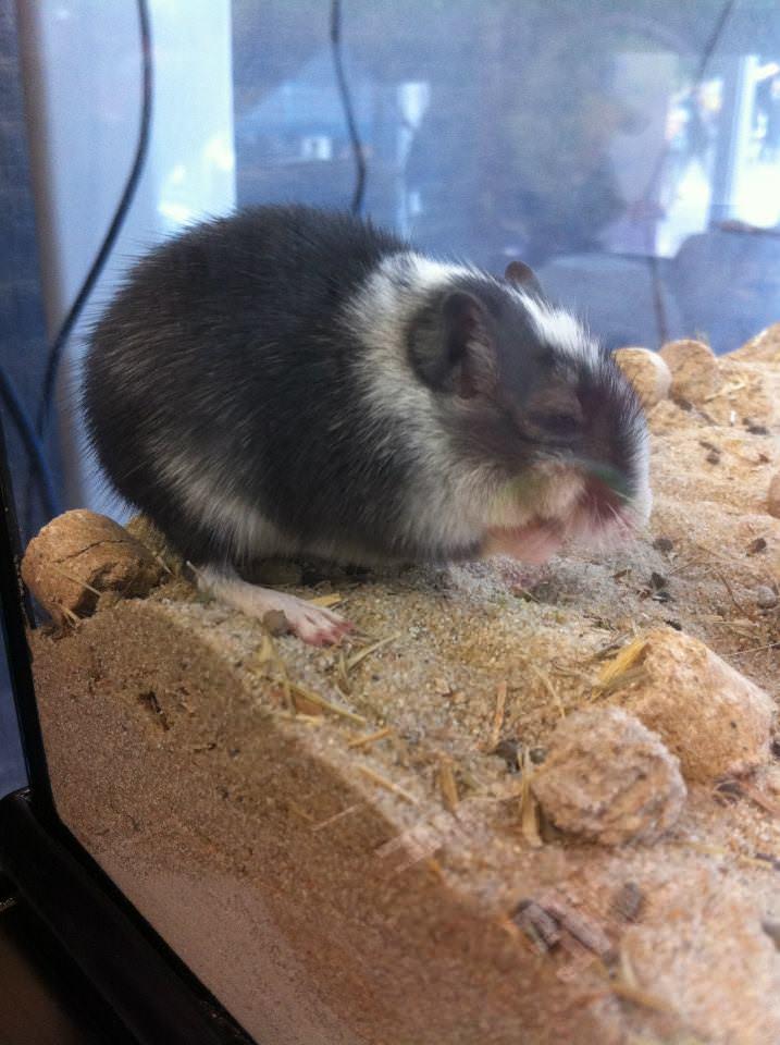 Gerbillo: specie, ambiente ed alimentazione