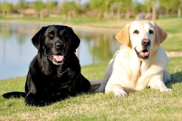 Displasia anca nel cane: sintomi e terapia