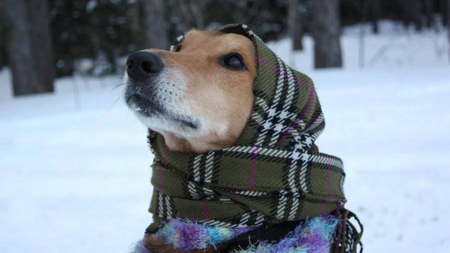 Cane freddo: quali razze hanno più freddo?