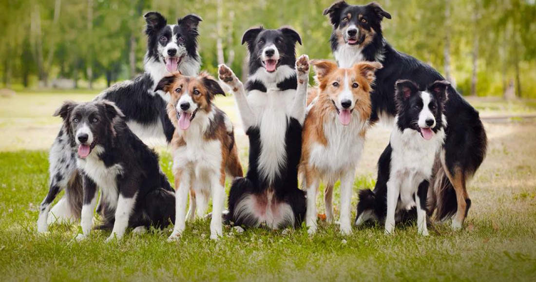 BCC o Border Collie Collapse : cause, sintomi e terapia