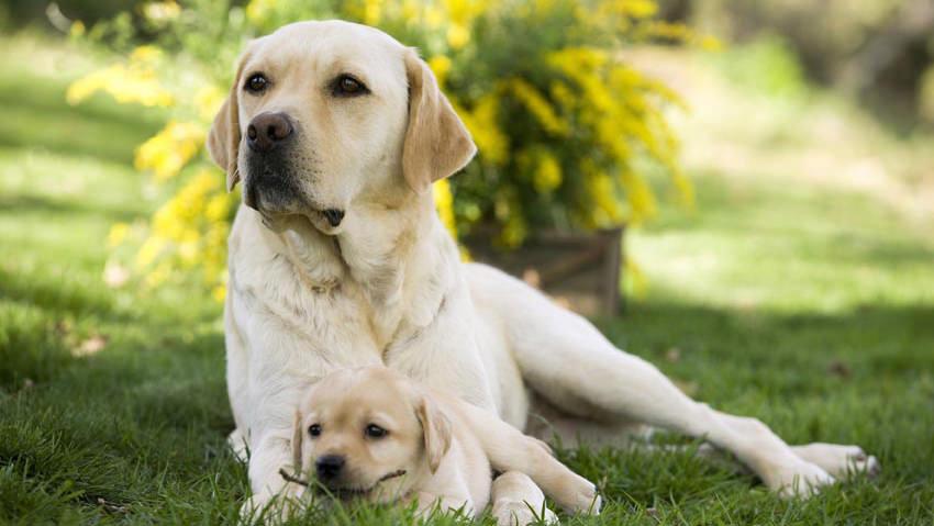 Alopecia ciclica dei fianchi nel cane: conosciamo questa malattia ricorrente