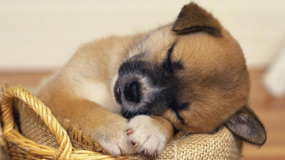 Giardia o Giardiasi nel cane: sintomi e terapia