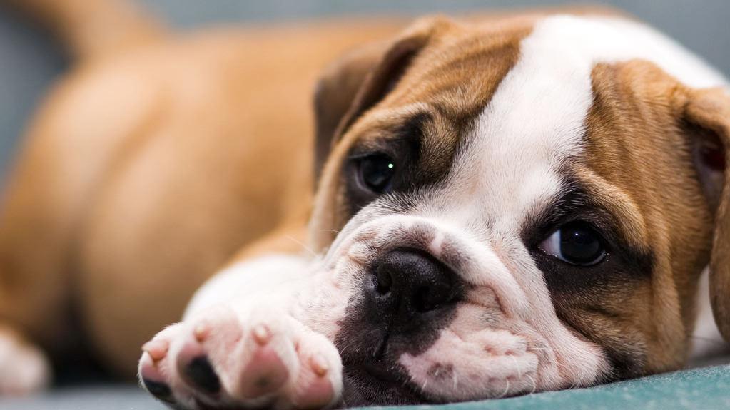 Gravidanza isterica nel cane o falsa gravidanza : ecco cosa fare