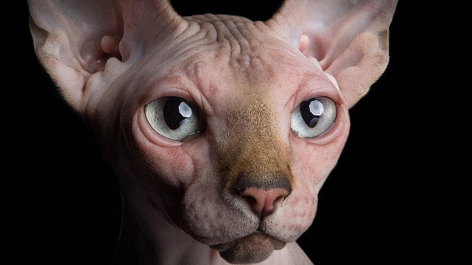 Gatto senza pelo : conosciamo meglio lo Sphynx