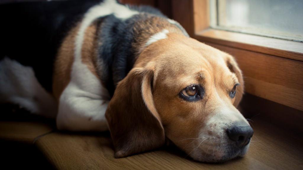 Febbre nel cane: cosa fare se il mio cane ha la febbre