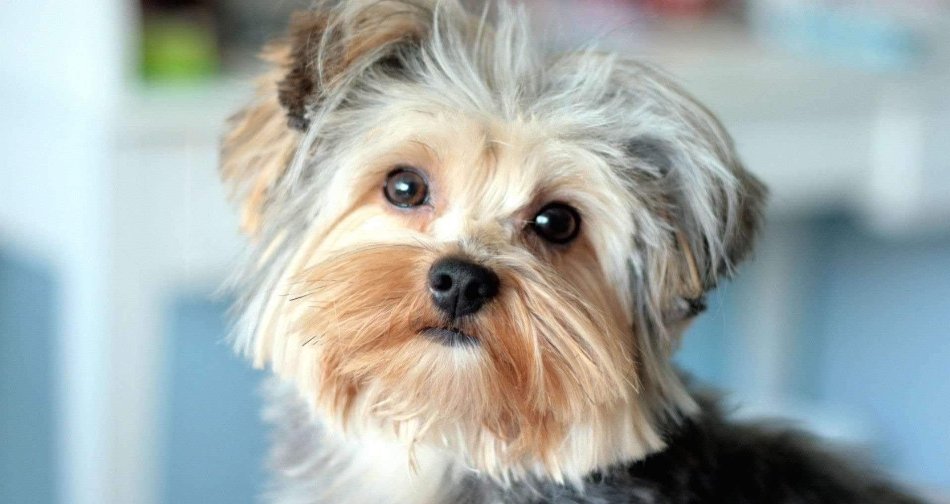 Shunt portosistemico nel cane: ecco cosa bisogna sapere