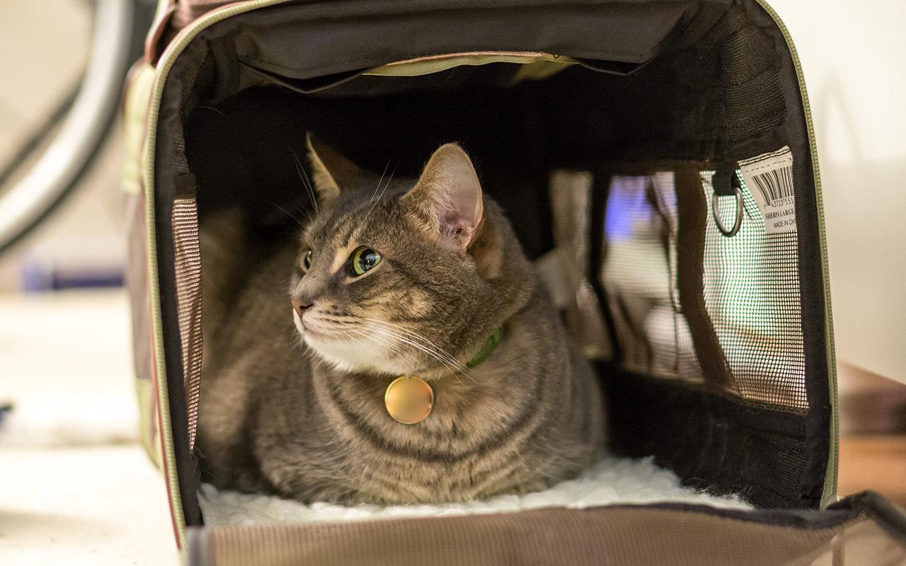 Come portare il gatto dal veterinario: 11 consigli di viaggio