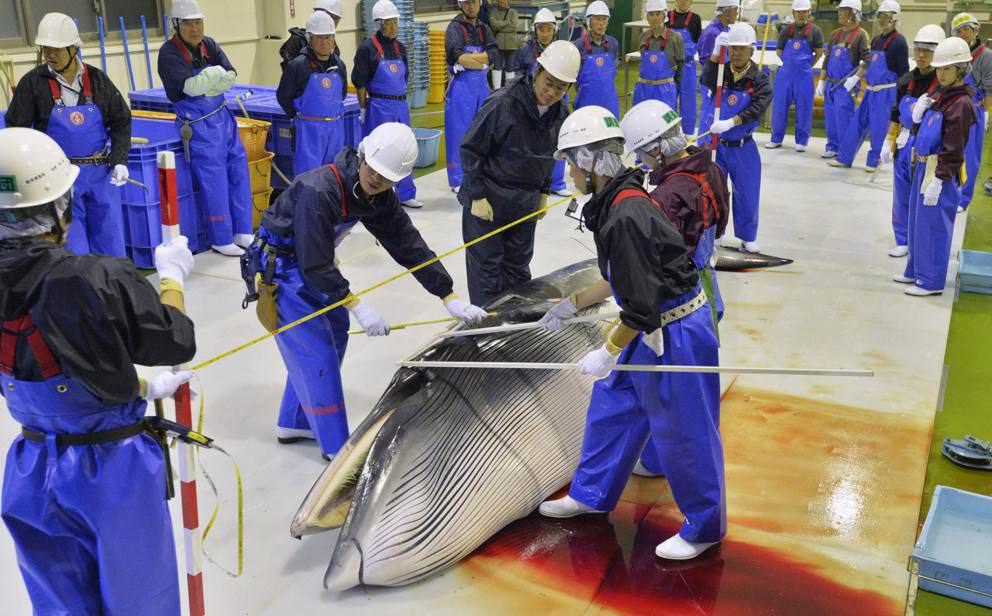 Il Giappone si oppone alla sentenza Onu e riprende la caccia alla balene