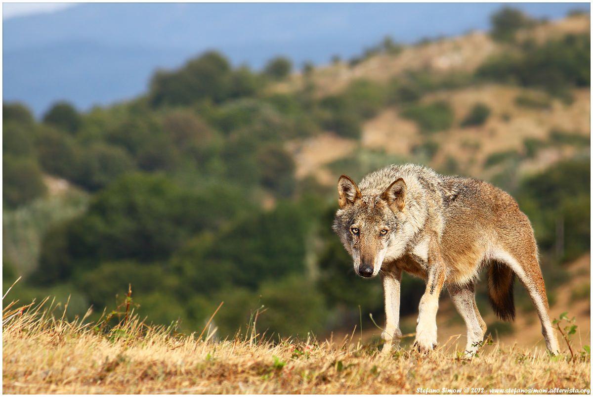 Kentucky avvistato un lupo grigio dopo oltre 150 anni