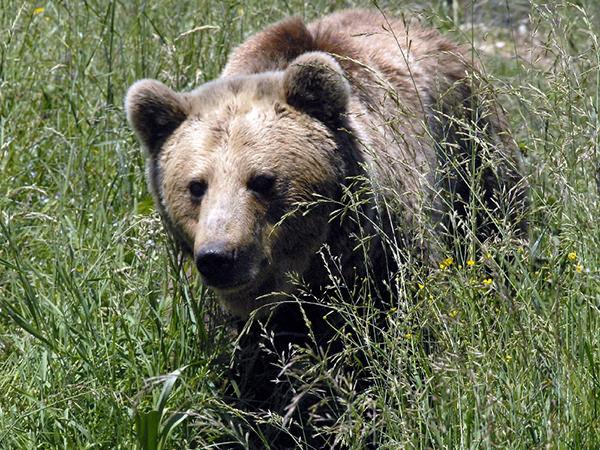 Trento: la provincia è pronta a catturare l'orso del Baldo