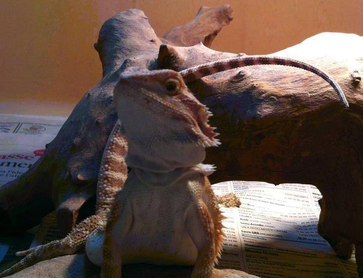 Pogona o Drago Barbuto: terrario, alimentazione e malattie