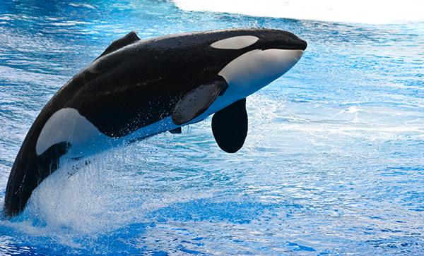 Orca uccide 3 persone al SeaWorld di Orlando ma i gestori fanno finta di niente