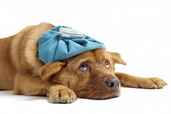 Cimurro: malattia infettiva del cane e di altri animali selvatici