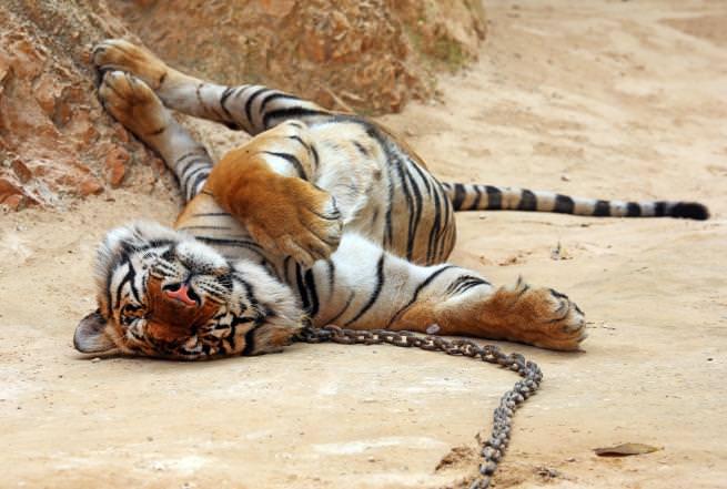L'amicizia tra un monaco buddista e una tigre [FOTO]