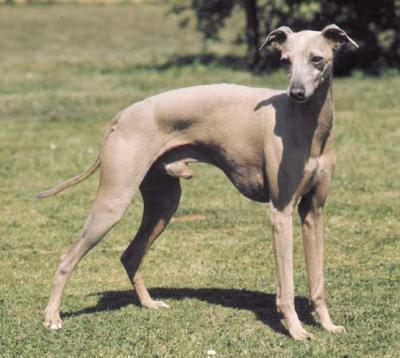 Una razza canina particolare: a Monza i Levrieri in piazza