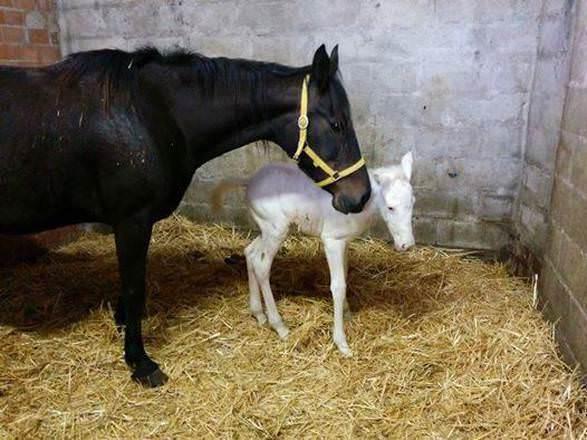 Assisi: nasce una cavalla albina