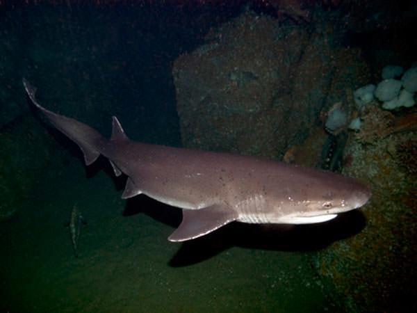 San Benedetto del Tronto: pescato squalo di 5 metri