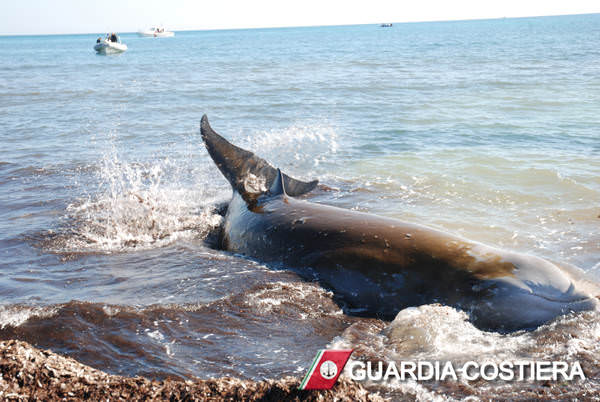 Balenottera si spiaggia sulle coste livornesi: i danni dell'inquinamento sull'ecosistema